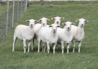 15 month old stud ewes
