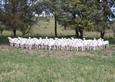 2014 Australian White Sale Ewes