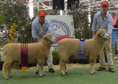 2014 Australasian Dorset Championships 90-14 Reserve Champion and 127-14 Champion Ram Lambs