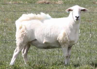 An Australian White Ewe showing typical shedding pattern