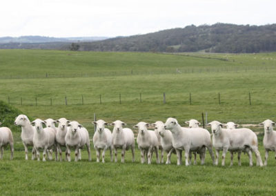 Tattykeel Australian White Flock Rams at 7 months