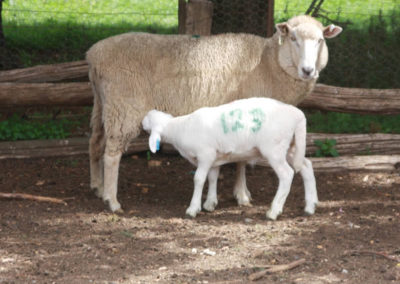 Pure Australian White Lamb on Recipient Mother