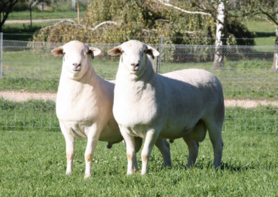 Australian White Rams 130429 and 130399