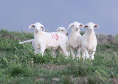 Tattykeel Australian White Stud Lambs