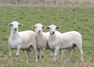 Australian White Stud Rams at 6 months