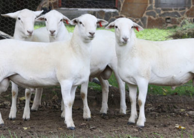 6 month old stud rams
