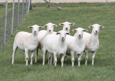 Australian White 15mth old stud ewes