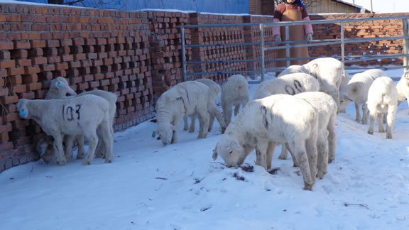 Australian White lambs in China from exported embryos.