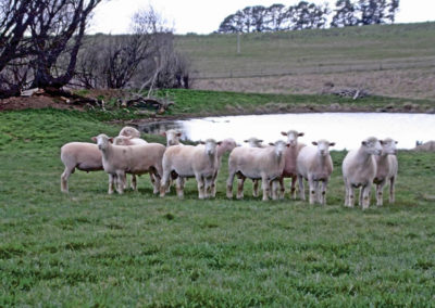 Tattykeel Stud Sale Rams at 10 months
