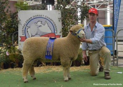 2013 Avustralya-Asya Dorset Koyun Şampiyonası 202-13 no'lu Şampiyon Damızlık  Erkek Kuzu