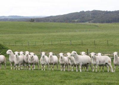Tattykell Avustralya Beyazı Sürüsünden seçilmiş 7 aylık yaştaki koçlar