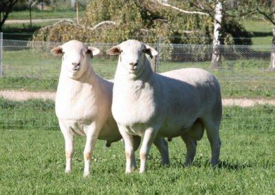 Avustralya Beyazı Koçlar, 130429 ve 130399 numaralı
