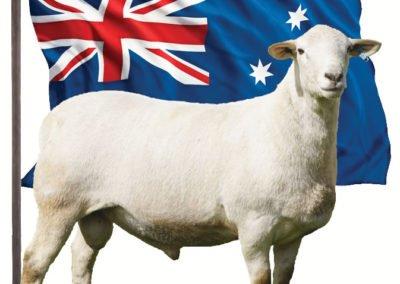 38.000 ABD dolarına satılan en yüksek değerli değerli Avustralya Beyazı koç (Cottage Creek)